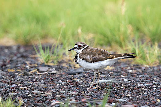 Killdeer by Doug Lloyd