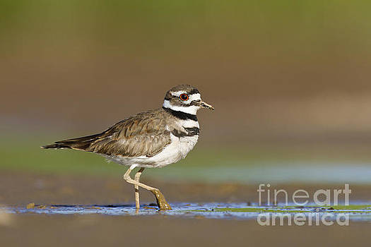 Killdeer walking by by Bryan Keil