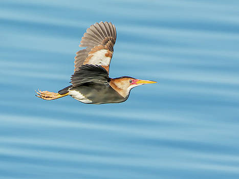 Least Bittern in Flight by Tam Ryan