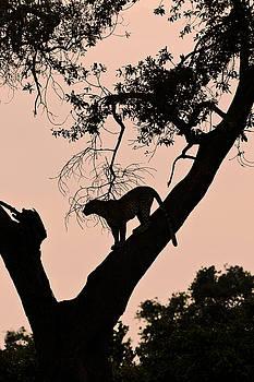 Michele Burgess - Leopard at Dawn
