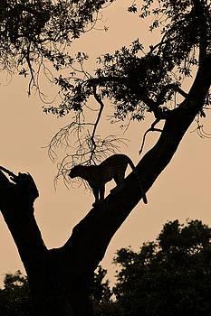 Michele Burgess - Leopard at Dusk