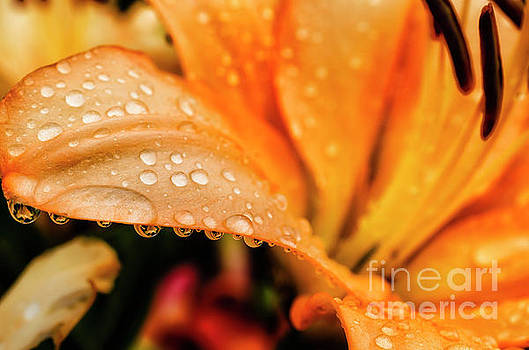 Lily in the Rain by Thomas R Fletcher