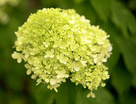 Limelight Hydrangea by Cathy Donohoue