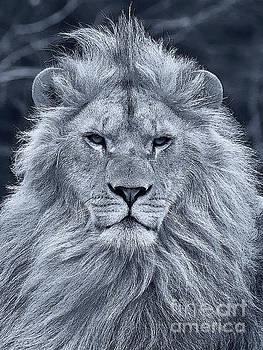 Nick  Biemans - Lion portrait in black and white