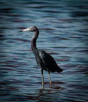 Little Blue Heron  by Debra Forand