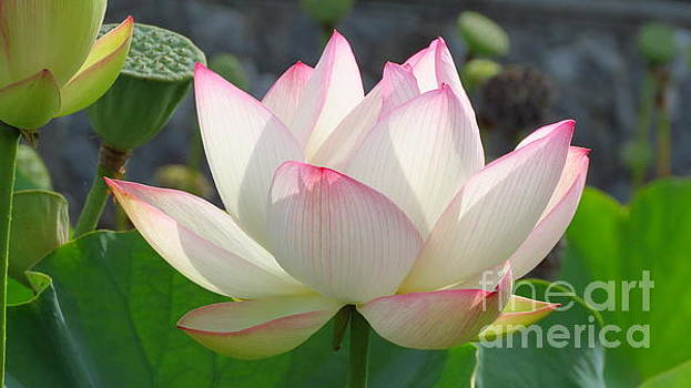 Lotus in Bloom by Anita Adams