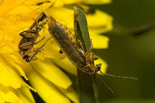 Mating bugs by Jouko Mikkola