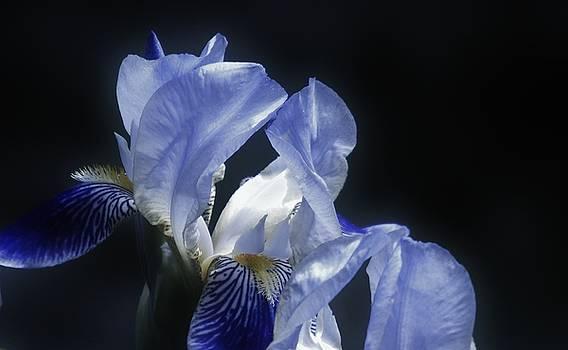 Midnight Blue Iris by Barbara St Jean