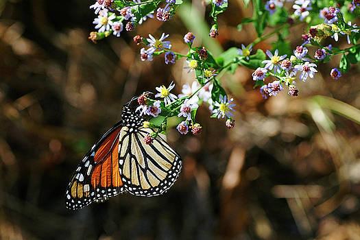Monarch by Bill Morgenstern