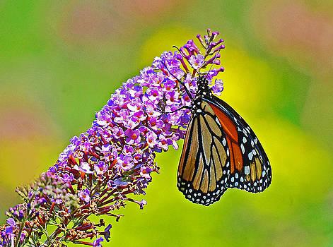 Monarch Butterfly by Rodney Campbell