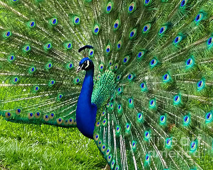 Mr. Peacock by Mindy Bench