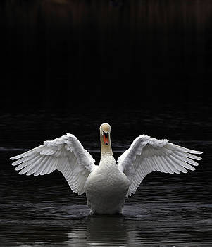 Mute Swan stretching it's wings by Urban Shooters