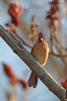 Northern Cardinal - Female by Jim Nelson
