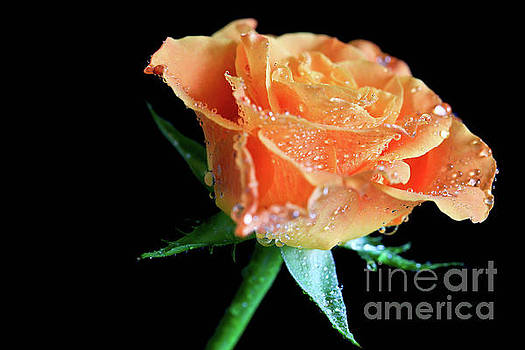 Orange Peach Rose by Tracy Hall