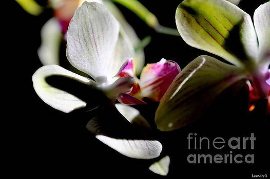 Orchid by Sylvie Leandre