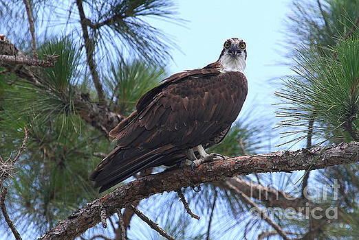 Osprey by Ken Keener