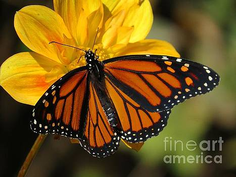 Monarch on Yellow by Putterhug  Studio