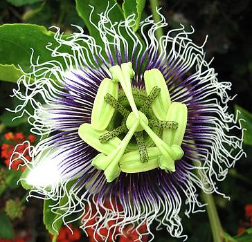 Passion Flower by Mary Ellen Frazee