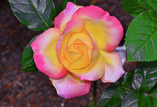 Peace Rose 007 by George Bostian