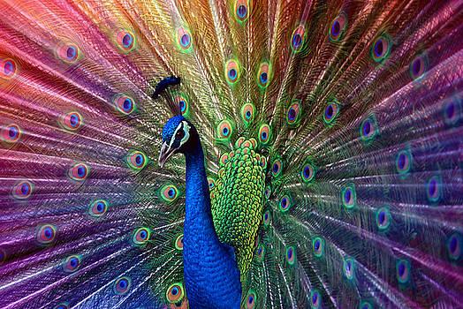 Hannes Cmarits - peacock