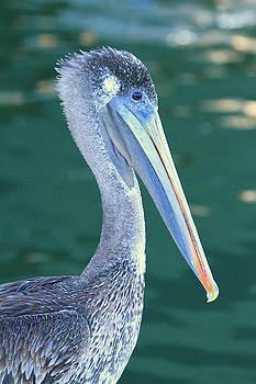 Pelican by Shoal Hollingsworth