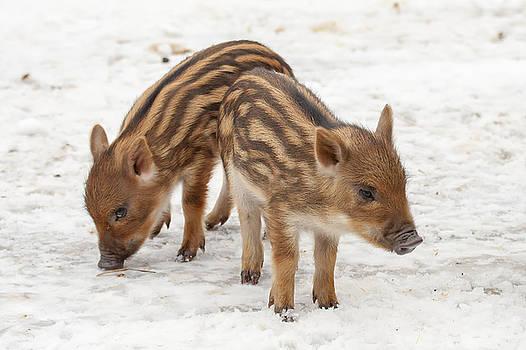 Piglets by Eunice Gibb