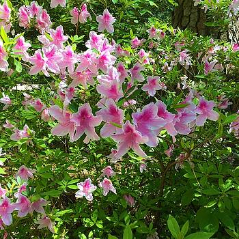 Pink Azaleas by Kay Gilley