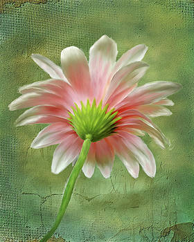 Pink Dahlia by Mary Timman