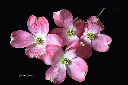 Pink Dogwood Branch by Jeannie Rhode Photography