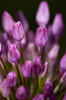 Pink flower by Jouko Mikkola