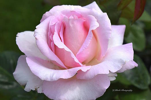Pink Rose Bud by Jeannie Rhode Photography