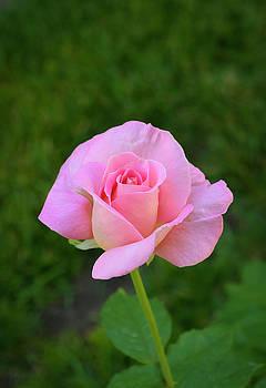 Pink Rose by Dennis Reagan