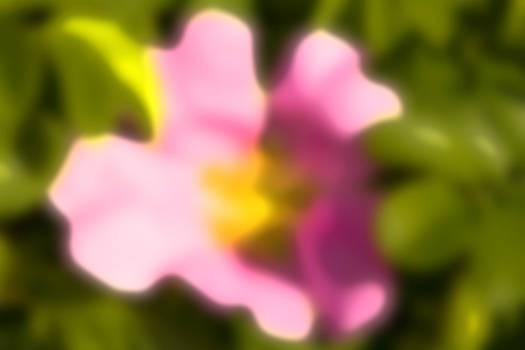 Pink rose by Jouko Mikkola