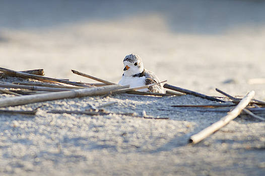Piping Plover by Greg Gard