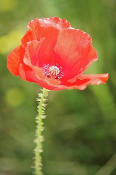 Poppy by Jeremy Sage
