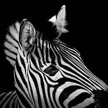 Portrait of Zebra in black and white II by Lukas Holas