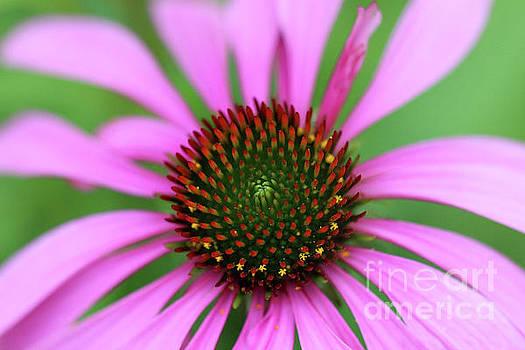 Purple Coneflower by Karen Adams