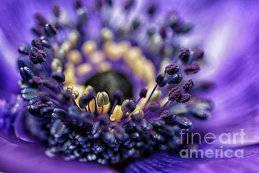 Purple heart of a flower by Patricia Hofmeester