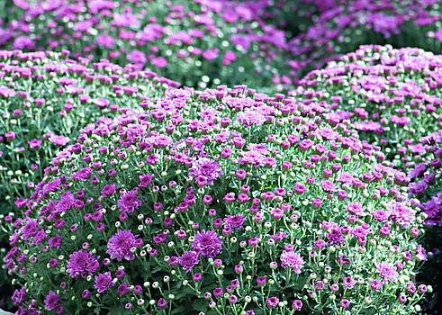 Purple Pleasures by Sherry Hallemeier