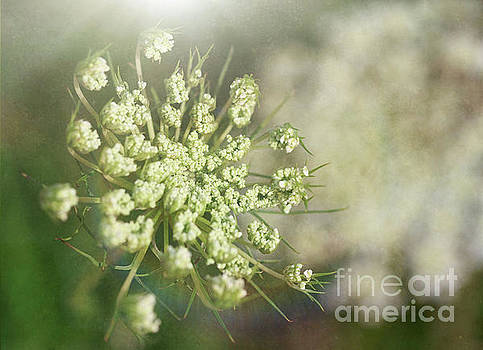 Queen Annes Lace by Verena Matthew