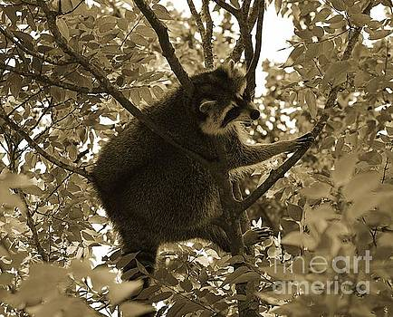 Raccoon  by Janice Spivey