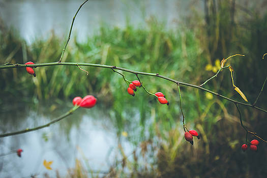 Red berries by Cindy Grundsten