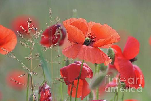 Red Poppies by Irina Hays