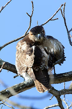 Red Tail by David Yunker