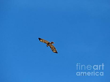 Red tail Hawk   by Yumi Johnson