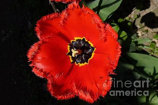 Red Tulip by Jean Bernard Roussilhe