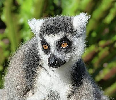 Ring-tailed Lemur In Sunlight by Margaret Saheed