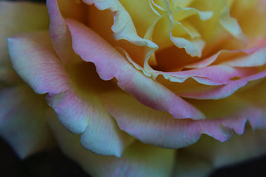 Rose Petals by Carol Welsh