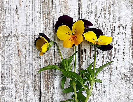 Rustic Pansies by Denise Pohl