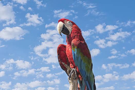 Kim Hojnacki - Scarlet Macaw